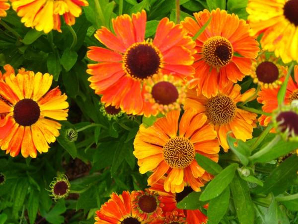 eine tolle zierpflanze farbenfrohe pracht