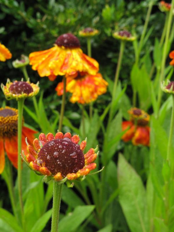 eine tolle zierpflanze sonnenbraut mit regentropfen