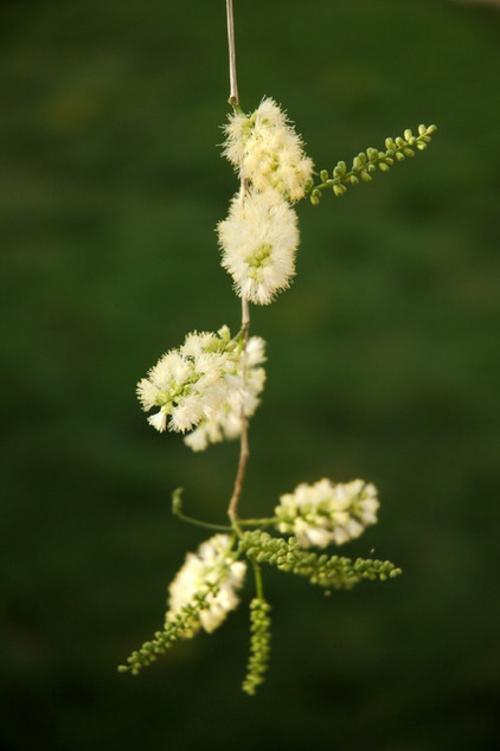 frische gartengestaltung mit akazie zarte blüten