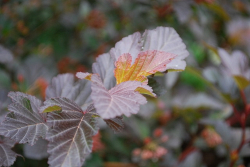 großartige pflanze für ihren garten blätter