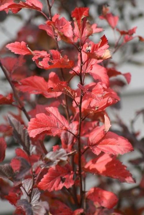 großartige pflanze für ihren garten feuerrote blätter