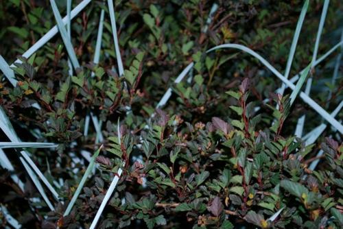großartige pflanze für ihren garten junge sträuche