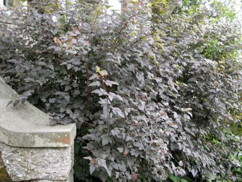 großartige pflanze für ihren garten strauch an der treppe