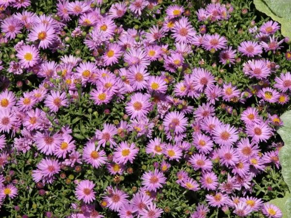 Bodendecker im Garten landschaftsbau herbst blumen blüten