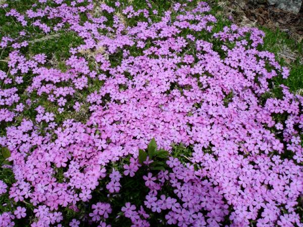 Bodendecker im Garten landschaftsbau lila blüten attraktiv frisch design
