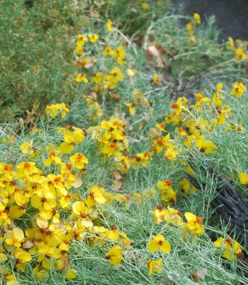 Die Zinnie im Garten gelbe blüten frisch landschaftsbau
