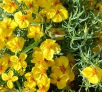 Große Designpflanze: Die Zinnie im Garten erhellt trocken Flecken