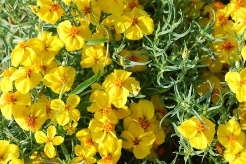 Die Zinnie im Garten gelbe blüten gras blumen frisch landschaft