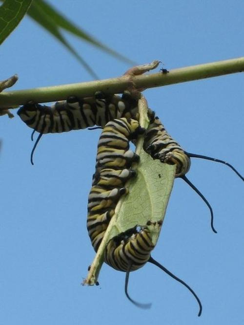 schmetterlinge im garten anlocken selber gestalten pflanzen blätter seidenpflanze