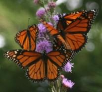 Schmetterlinge im Garten anlocken – erfreuen Sie Ihre Augen mit lebendigen Skulpturen