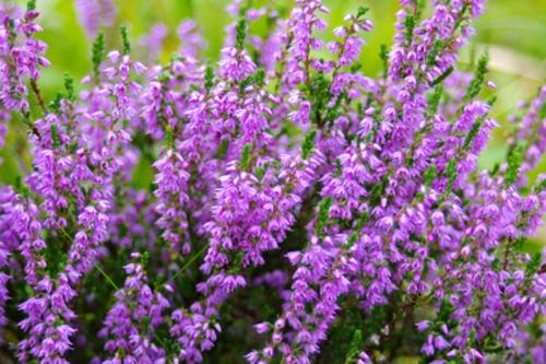 heidekraut lila farbe pflanzenarten balkon gestaltung