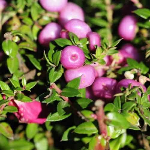 hübsche balkonpflanzen für die kalte jahreszeit skimmie