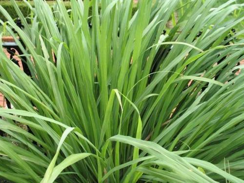 Heilpflanze wie Zitronengras im Garten anbauen rezepte idee