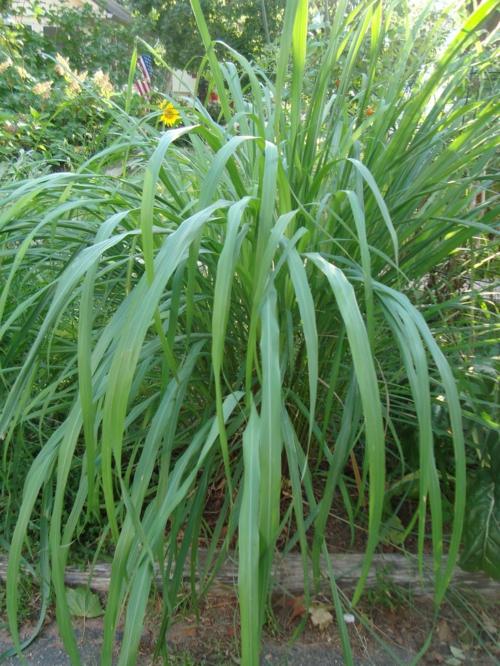 Heilpflanze wie Zitronengras im Garten anbauen rezepte