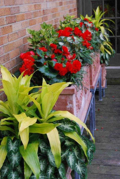 dracaena richtig pflegen als outdoor pflanze