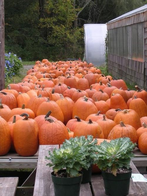 schicke halloween dekoration orange kürbisse und zierkohl
