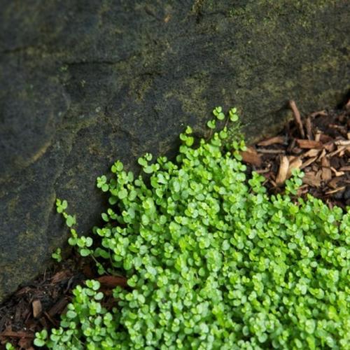 Die Zimmerpflanze Bubikopf schafft grüne Akzente pracht natur garten