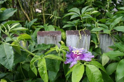 garten und landschaftsbau ideen lila grüne