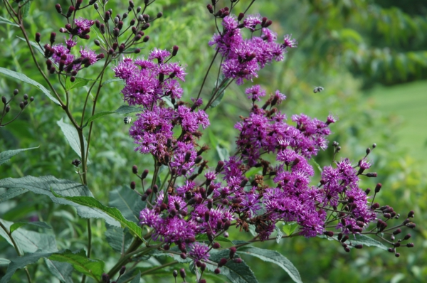 großartige designerpflanze filigrane blüten lila pracht