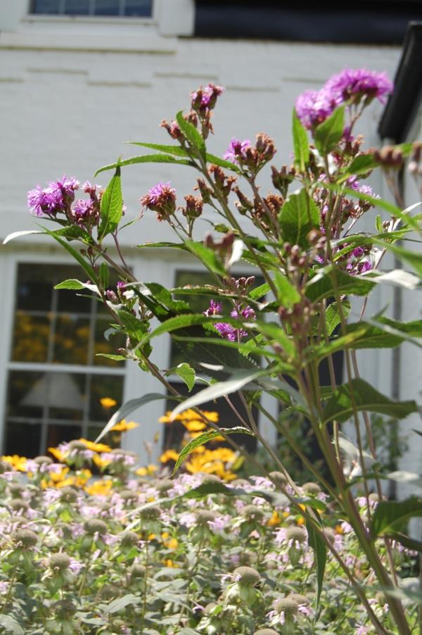 großartige designerpflanze hoch und elegant in lila