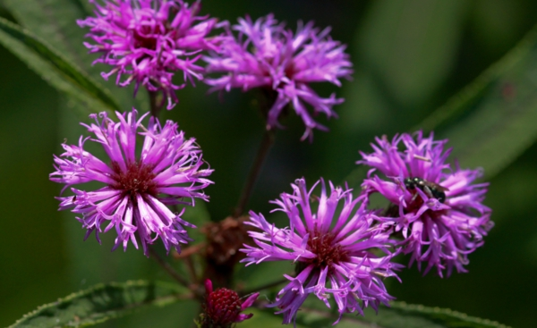 großartige designerpflanze zauberhaft in lavendel