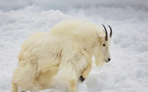 albino Tiere polar unglaubliche weiß bergziege