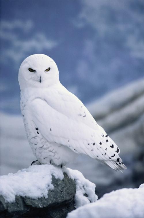 Weiße Tiere polar unglaubliche weiß eule