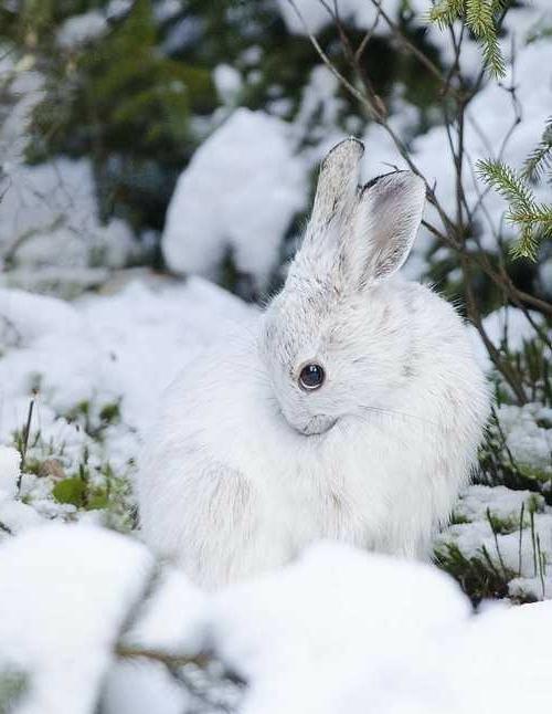 albino Tiere polar unglaubliche weiß hase wild