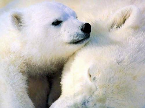 albino Tiere polar unglaubliche weiß polarbär