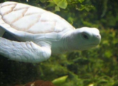 albino Tiere polar unglaubliche weiß unterwasserschildkröte