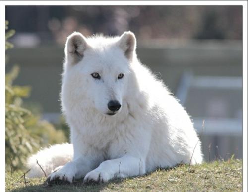 Weiße Tiere wolf polar unglaubliche natur umgebung