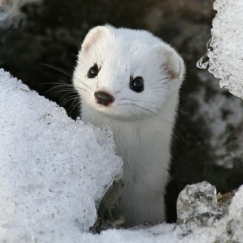 Weiße Tiere wolf polar unglaubliche natur wiesel