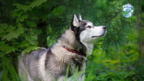 huskys in grau und beige wie wolf