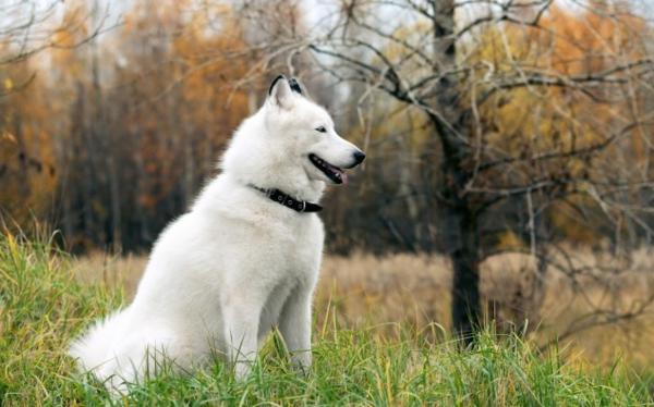 huskys in weiß auf der grünen wiese