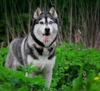 Großartige Huskys – 10 tolle Hundebilder