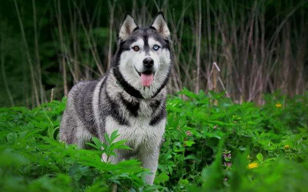 husky mit ausgestreckter zunge im wald