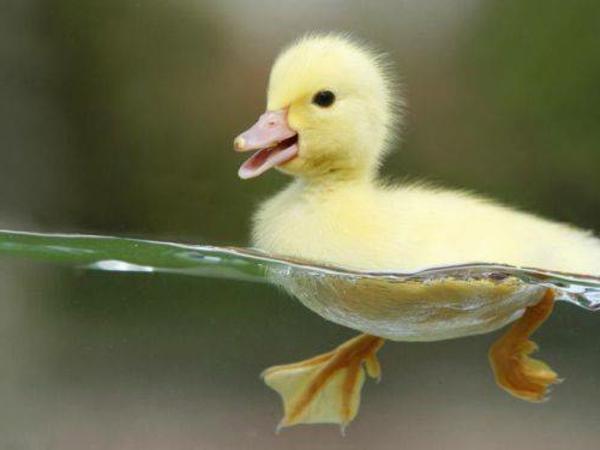 lustige niedliche tiere gelbes küken im wasser