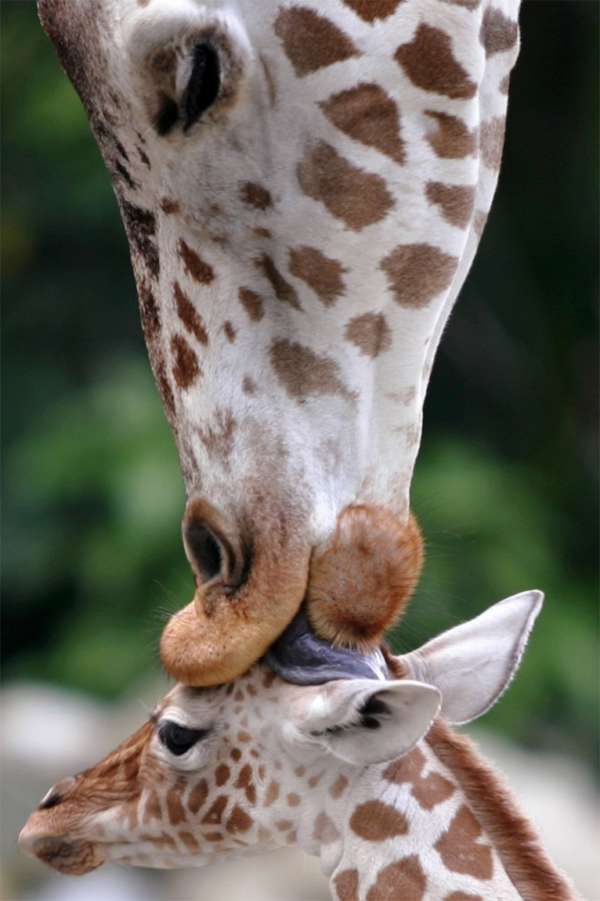 lustige niedliche tiere liebevolle mutter giraffe
