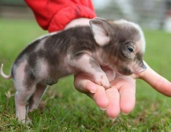lustige niedliche tiere niedliches schweinchen
