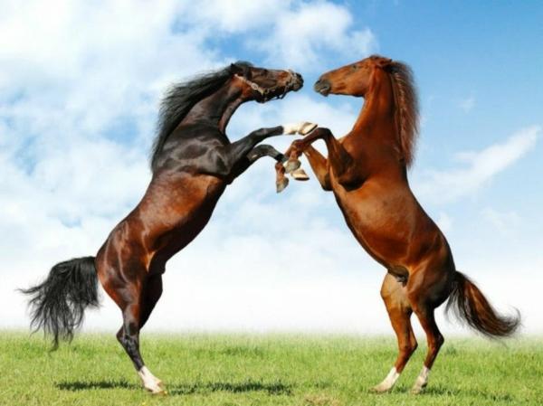 lustige niedliche tiere pferde kampf auf der wiese