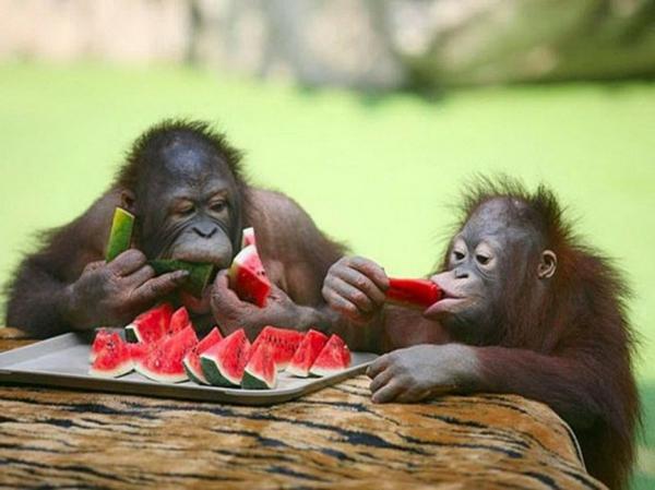 lustige tiere zwei schimpansen essen wassermelone