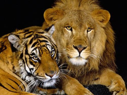 schöne tierbilder löwe und tiger