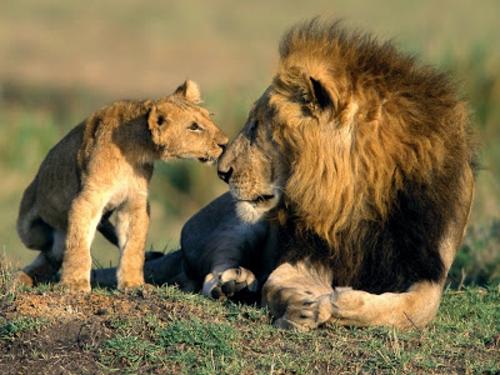 schöne süße tierbilder löwen
