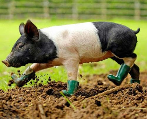schöne tierbilder schweinchen mit stiefeln