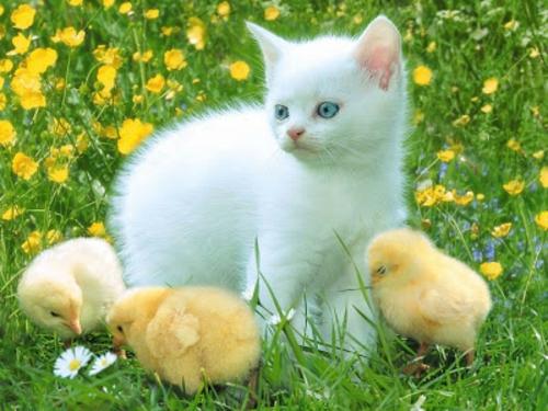 schöne süße tierbilder weiße katze gelbe kücken