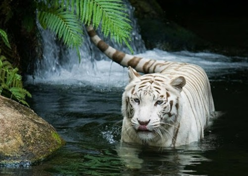 Pictures Of White Tiger Wallpaper Hd 1080p Kidskunst Info