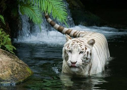 schöne tierbilder weißer tiger im fluss