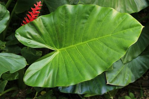taro pflanze große blätter und rote blüten
