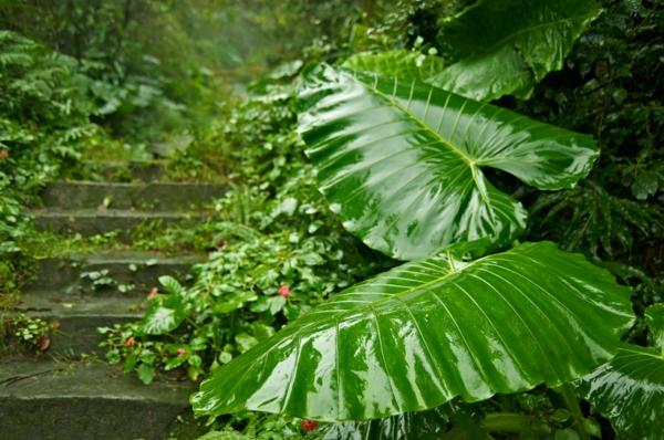taro pflanze ursprünglich aus den tropen
