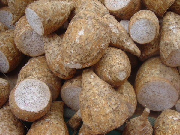 taro pflanze wurzeln